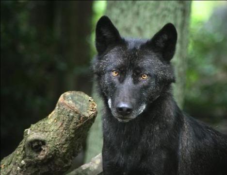 black Mbwa mwitu loups