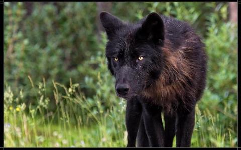 black Người sói