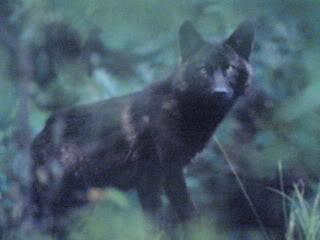 black loups