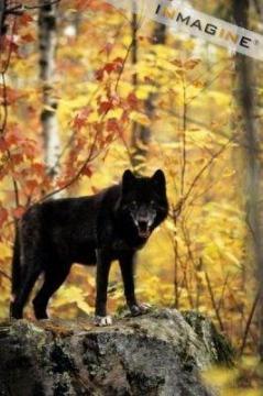black lobos
