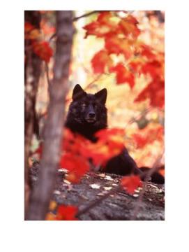 black serigala