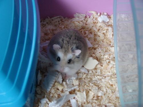 my roborovski hamster