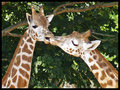 Giraffes - giraffes photo