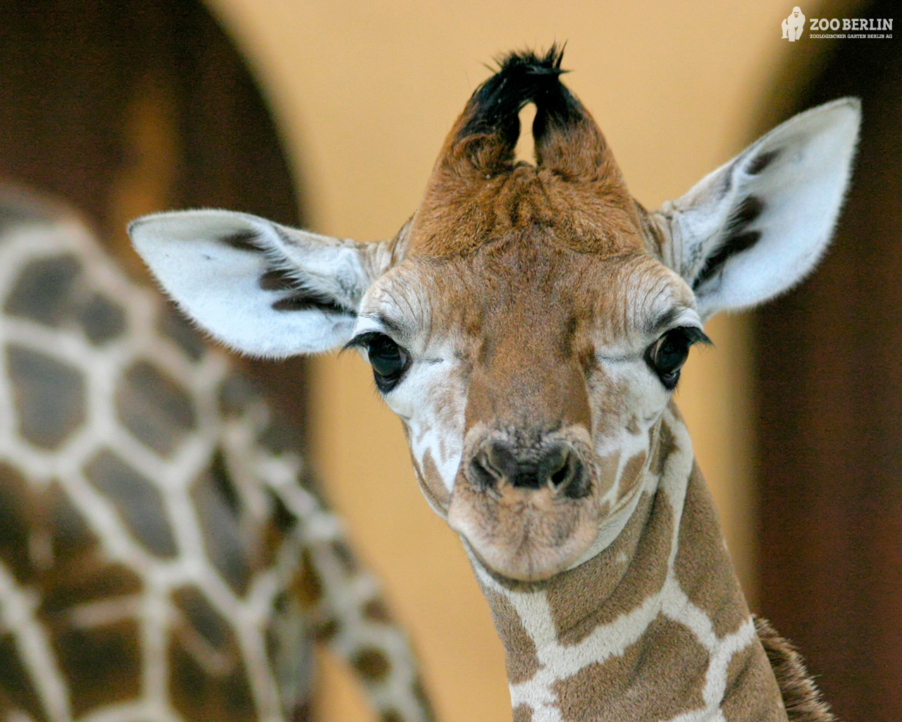Giraffes Images HD Wallpaper And Background Photos