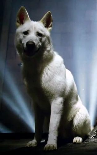 Jon direwolf Ghost