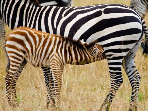 Zebras wallpaper with a zebra, a common zebra, and a mountain zebra called Momma and Baby Zebra