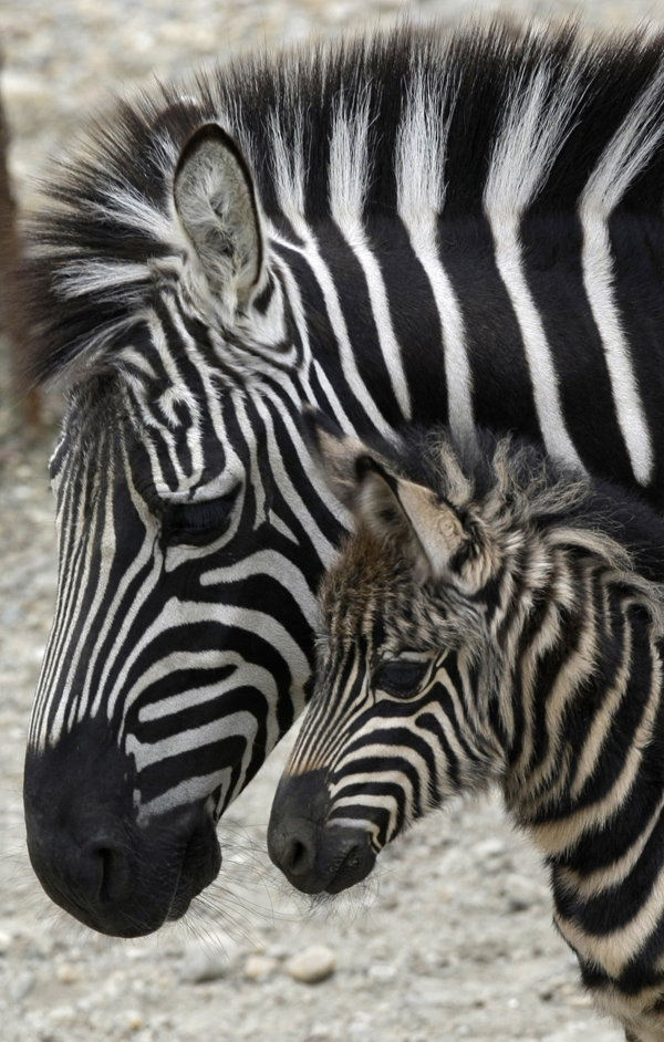 Zebra baby and mother - photo#28