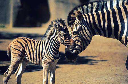 Zebras wallpaper containing a zebra, a common zebra, and a mountain zebra called Momma and Baby Zebra