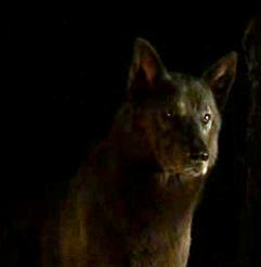 Rickon direwolf Shaggydog