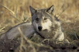 serigala for anda (3)