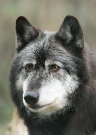 Волки for Ты (3)