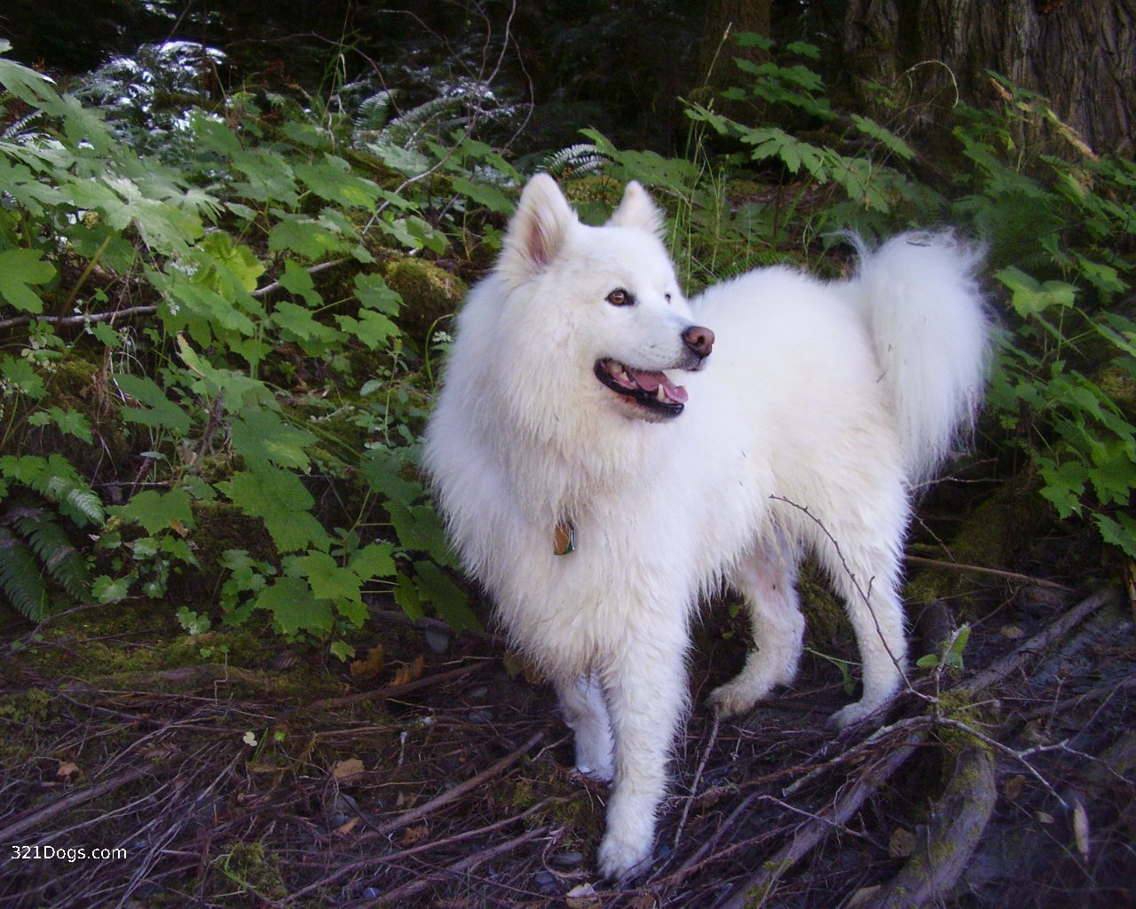 Dogs That Look Like Mini Wolves