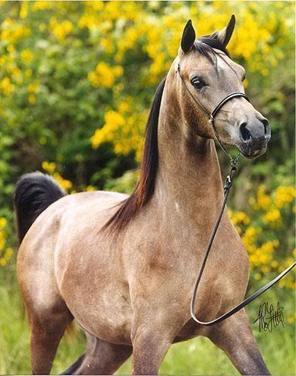 Favorite Arabian coat color? Poll Results - Horses - Fanpop