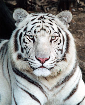 White tiger or siberian tiger tigers fanpop - Show me a picture of the tiger ...