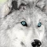 Both these wolves have beautiful blue/green eyes.....which ...