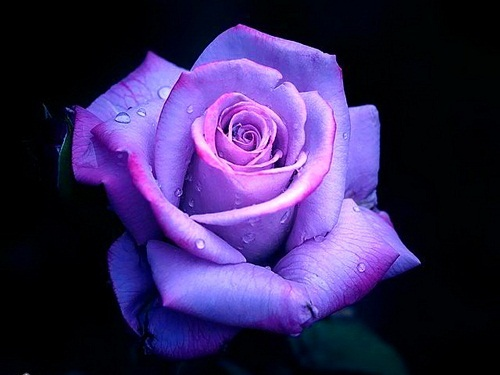 Magic blue or magic purple rose poll results yorkshire for Purple rose pictures