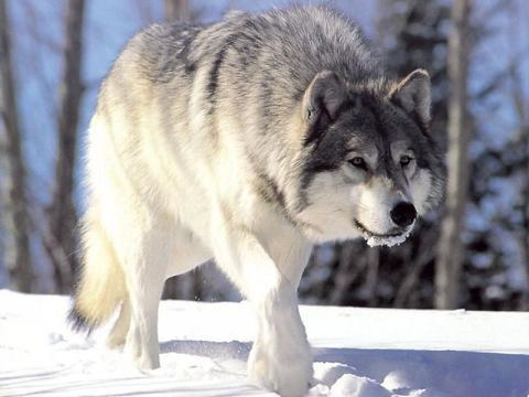 Where do Gray Wolves live?