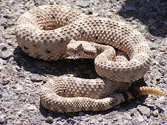 This snake is called a: