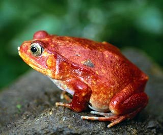 This frog is a: