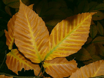 This a leaf from :
