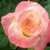 This rose is named after ...?