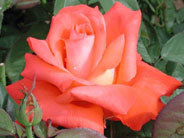 This rose is named after which actor ?