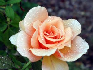 This rose is named after which actress ?