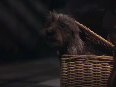 The dog who played Toto almost Lost her life because she broke her...