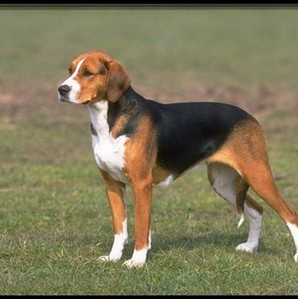 An 'American Foxhound' is: