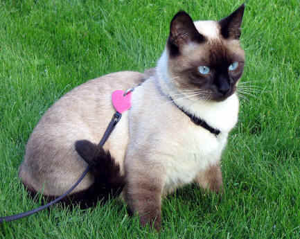 In Thailand..Siamese 고양이 are known as *wichien - maat* which means ?