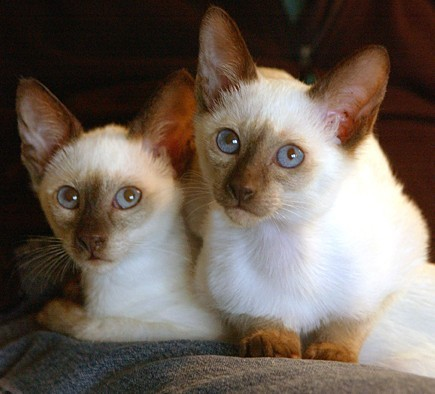 Siamese cats must have what colour of eyes ?