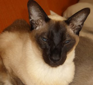 The Siamese cat is extremely active at night ?