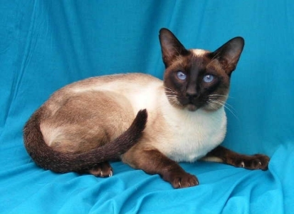 The Siamese is one of the quietest of all 猫 ?