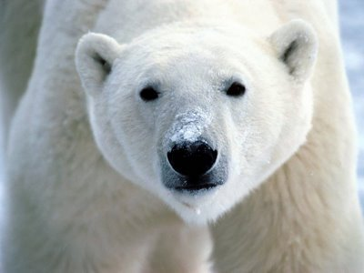 What colour is the polar bear's skin?
