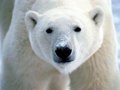What colour is the polar bear's skin?