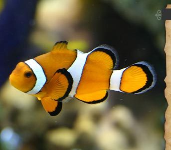 How many clown fish species are there the oceans trivia for How many fish are in the ocean
