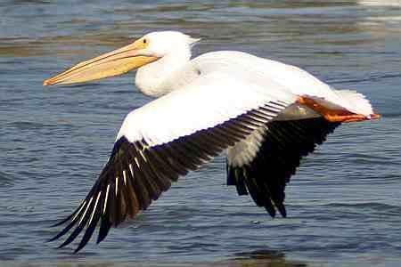 How many litters of water can fit in an adult pelican's beak?