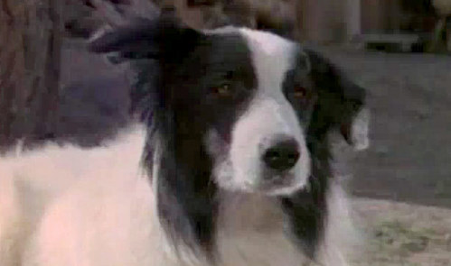 "This  Border Collie dog starred in the classic TV series ""Little House On The Prairire""....what is his name ?"