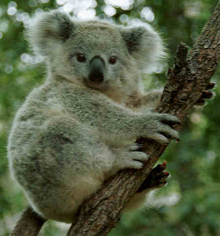 T/F: Koalas are small bears?