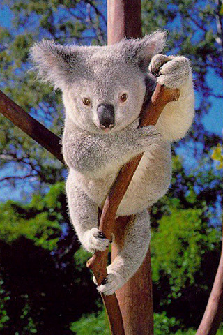 What is the average lifespan of a Koala?