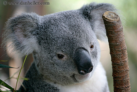 Where are Koalas from?