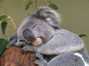 Up to how many hours can a Koala sleep within 24 hours?