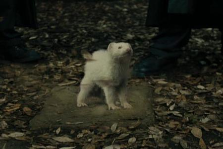 Draco was transfigured into what? sa pamamagitan ng Barty Crouch Jr. (disguised as Alastor Moody)
