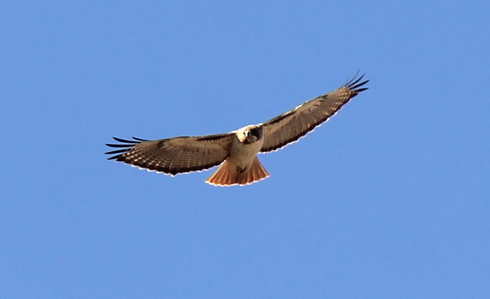 What is another common name for the Red-tailed Hawk?