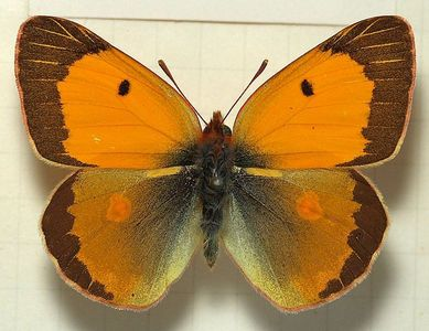 What kind of schmetterling is this?