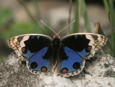 What kind of papillon is this?