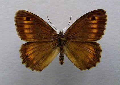 What kind of con bướm, bướm is this?