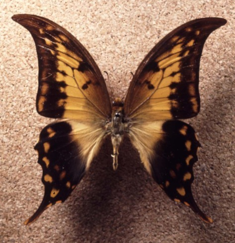 What kind of butterfly is this?