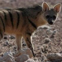 Are hyenas biologically closer related to cats or dogs?