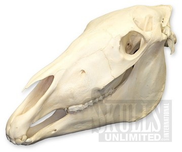 What type of other animal is the Zebra said to have a similar skull to??